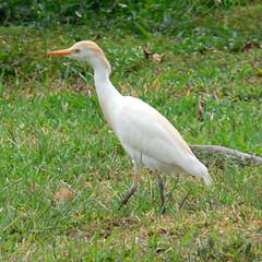 animal, fauna, little blue heron, great egret, heron, pelecaniformes, beak, bird, wildlife,