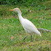 Cattle Egret - Photo (c) Stig Nygaard, some rights reserved (CC BY)