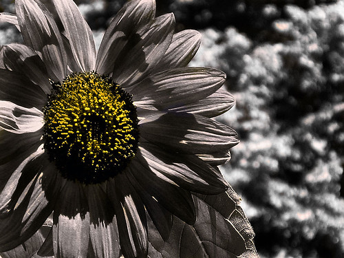 Sunflower Flower =)