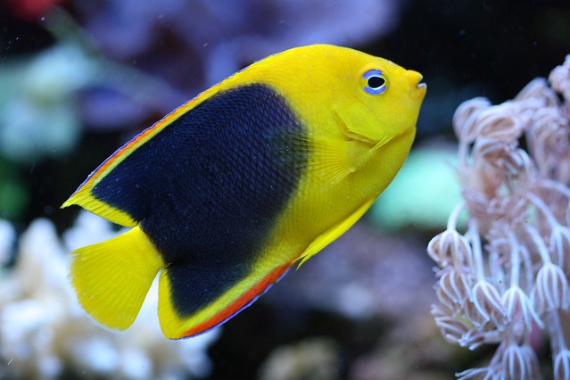 Rock Beauty Angelfish | Flickr - Photo Sharing!