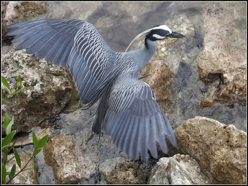 BIRD / YELLOW-CROWNED NIGHT-HERON