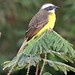 Social Flycatcher - Photo (c) Lip Kee Yap, some rights reserved (CC BY-SA)