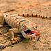Desert Monitor (Varanus griseus) כוח אפור