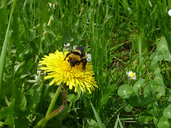 animal, honey bee, dandelion, flower, grass, yellow, plant, nature, invertebrate, membrane-winged insect, wildflower, flora, green, fauna, meadow, bee, bumblebee, wildlife,