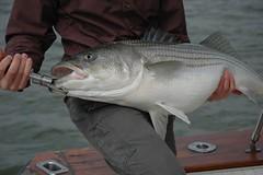 animal, fish, fishing, fish, recreational fishing, jigging,