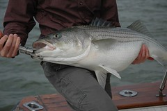 bass(0.0), trout(0.0), perch(0.0), cod(0.0), red snapper(0.0), tilefish(0.0), barramundi(0.0), snapper(0.0), milkfish(0.0), animal(1.0), fish(1.0), fishing(1.0), fish(1.0), recreational fishing(1.0), jigging(1.0),