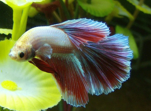 Betta With A Curved Body Fish Care