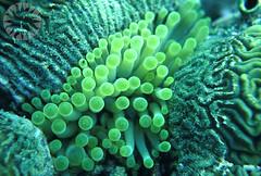 animal(0.0), coral reef fish(0.0), pomacentridae(0.0), coral reef(1.0), coral(1.0), brain coral(1.0), organism(1.0), marine biology(1.0), macro photography(1.0), marine invertebrates(1.0), green(1.0), underwater(1.0), reef(1.0), sea anemone(1.0),