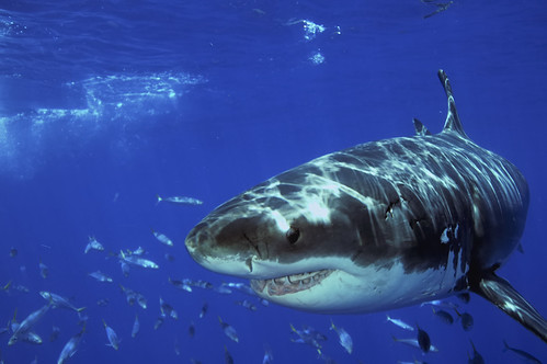 Great white shark and mackerel at guadalupe island mexico for Guadalupe island fishing