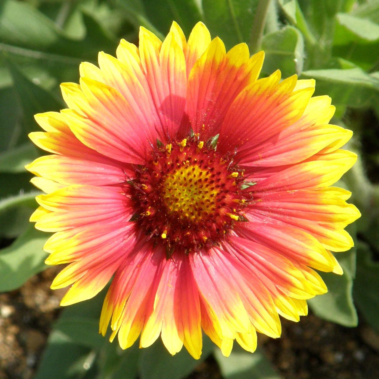4957 indian blanket flower オオテンニンギク