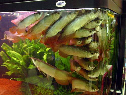 Les japonais craquent aussi pour l 39 arowana le blog d for Aquarium pour poisson rouge japonais