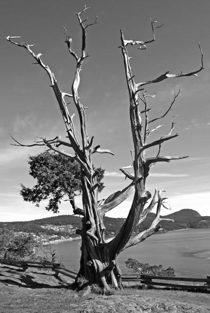 Old Man Tree