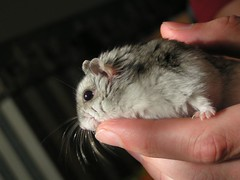 animal, rat, rodent, pet, mouse, hamster, whiskers, chinchilla, gerbil,
