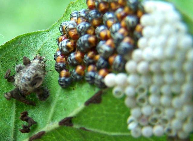 Cannibal Harlequin ladybirds with an STI invading the UK