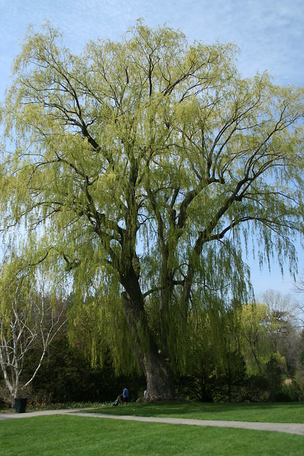 Willow Tree Definition Meaning