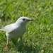 Small photo of Albino Mockingbird