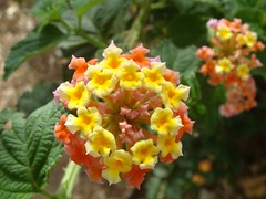 tropical milkweed(0.0), annual plant(1.0), shrub(1.0), flower(1.0), yellow(1.0), plant(1.0), wildflower(1.0), flora(1.0), lantana camara(1.0), snapdragon(1.0),