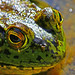 frog portait by Mac Danzig Photography