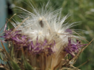 Blurry Golan 'Dandelion'_0999