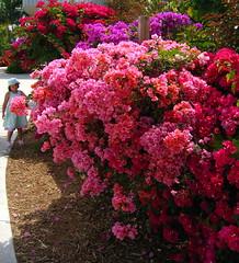 annual plant, shrub, garden roses, flower, plant, lilac, pink, azalea,
