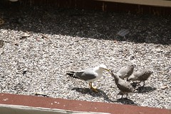 Gull feeding chicks III