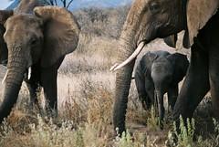 adventure(0.0), mahout(0.0), animal(1.0), indian elephant(1.0), elephant(1.0), elephants and mammoths(1.0), african elephant(1.0), herd(1.0), fauna(1.0), savanna(1.0), safari(1.0), wildlife(1.0),