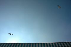 Sea gulls 01