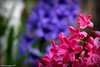 Hyacinths revisited by Rebecca_bexxi