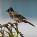 Red-vented Bulbul - Photo (c) Lip Kee Yap, some rights reserved (CC BY-SA)