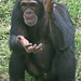 Chimpanzee Clapping