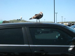 Sea gull on car