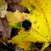 Black Tar Spot - Photo (c) Kathie Hodge, some rights reserved (CC BY-NC-SA)