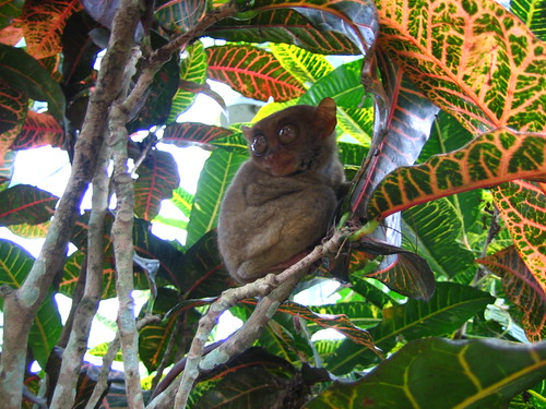 Tarsier sighting (Sagbayan Peak)