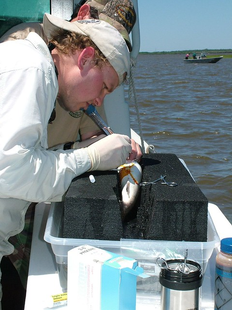 Calcasieu lake spotted seatrout tracking project jody for Calcasieu lake fishing report
