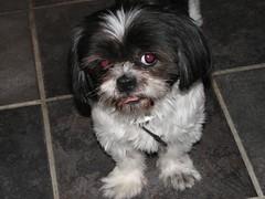 dog breed, animal, dog, pet, bolonka, japanese chin, havanese, lhasa apso, morkie, chinese imperial dog, shih tzu, carnivoran,