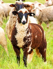 Sheeps are colorful!