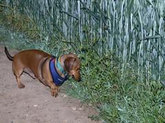 hound(0.0), vizsla(0.0), animal(1.0), dog(1.0), pet(1.0), mammal(1.0), hunting dog(1.0),
