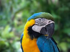 Parrot in the Bahamas, captive