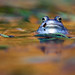Rana arvalis/ Moorfrosch/ Moor frog