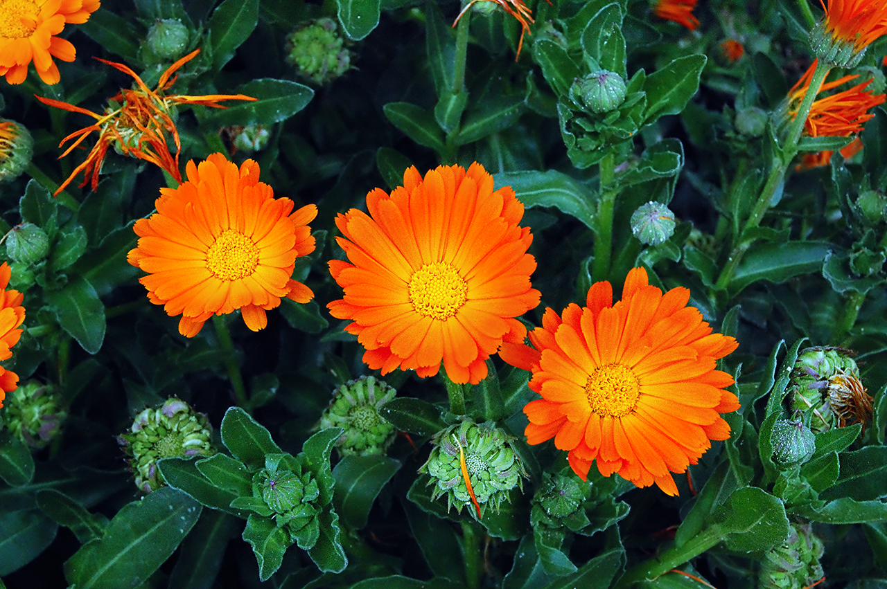 Orange flowers names and pictures for Flowering plants names and pictures