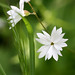 San Francisco woodland-star - Photo (c) Philip Bouchard, some rights reserved (CC BY-NC-ND)