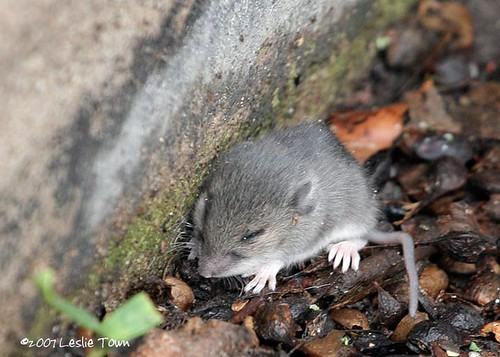 Baby Mouse #1