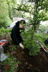 rachel, planting a redwood tree    MG 4992