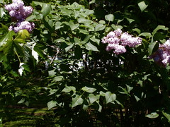 blossom(0.0), lilac(1.0), shrub(1.0), flower(1.0), plant(1.0), lilac(1.0), flora(1.0),