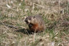 fox squirrel(0.0), whiskers(0.0), animal(1.0), rodent(1.0), prairie dog(1.0), fauna(1.0), muskrat(1.0), marmot(1.0), beaver(1.0), wildlife(1.0),