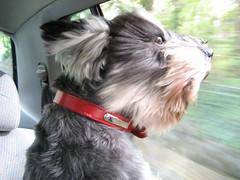 dog breed, animal, dog, schnoodle, pet, lã¶wchen, tibetan terrier, mammal, havanese, schnauzer, morkie, miniature schnauzer, affenpinscher,