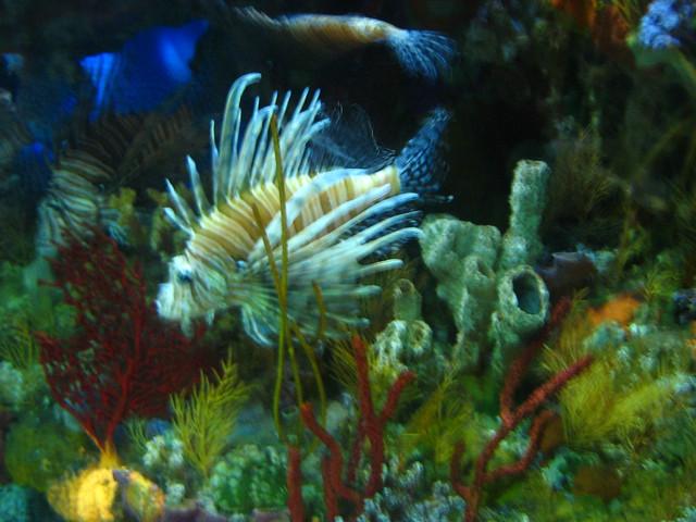 Lion Fish North Carolina Aquarium At Fort Fisher 5 5 07