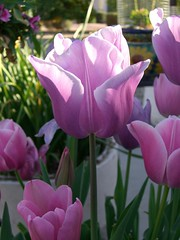lotus(0.0), aquatic plant(0.0), tulip(1.0), flower(1.0), plant(1.0), plant stem(1.0), pink(1.0), petal(1.0),