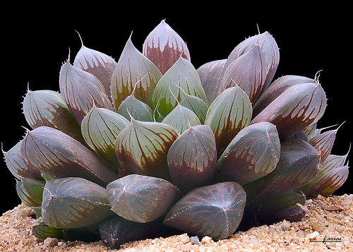 Haworthia pilifera by f.arias