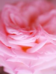 petal like a marshmallow.